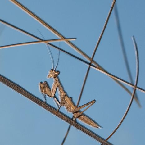 Jonge bidsprinkhaan. Het grafische, uitgeknipte, effect ontstaat door een uitgestelde flits te gebruiken en tegelijkertijd de camera iets te bewegen. 105 mm, 1/1s0, f45, ISO 200, flits. Foto: Bart Siebelink