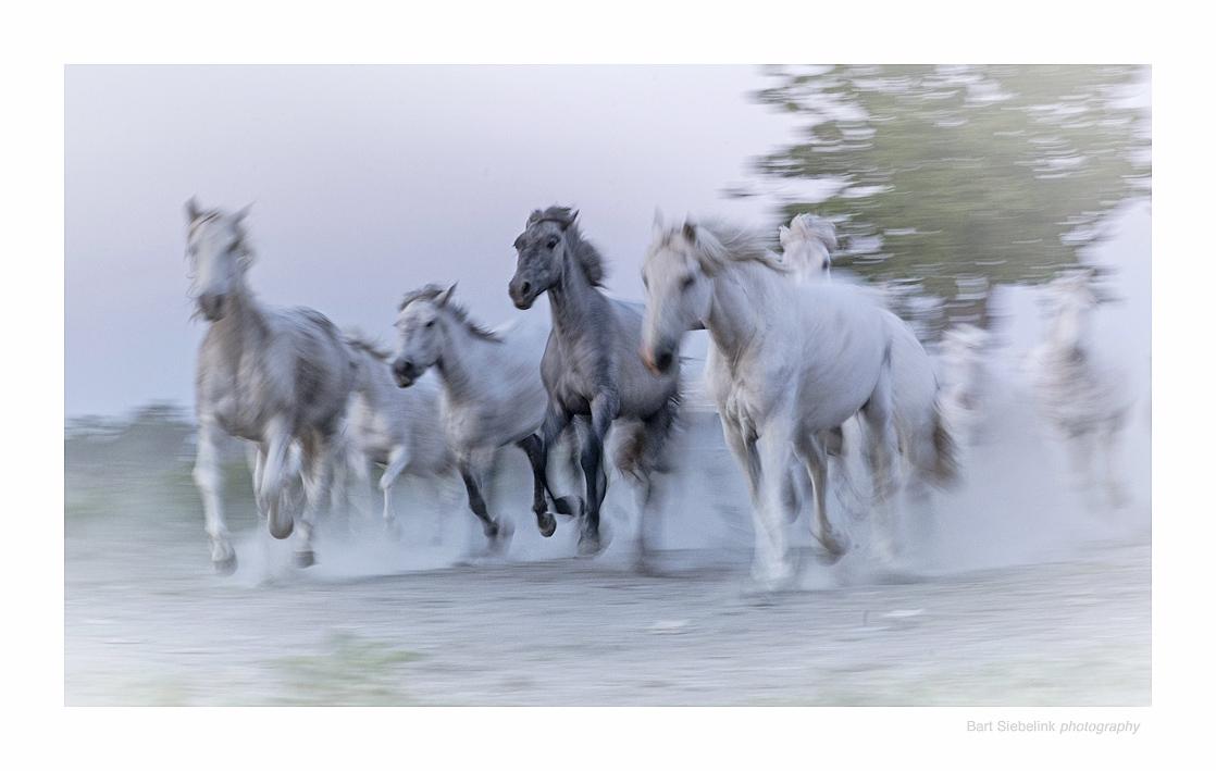 De legendarische witte paarden van de Camargue. Deze foto komt stand door de panning-techniek, waarbij je ook ruimte laat voor het toeval. We zullen bij deze uitvoerig bij stilstaan bij deze wijze van fotograferen. Foto: Bart Siebelink