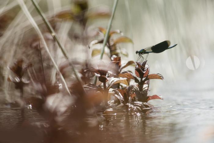 Het fotograferen van libellen terwijl je door de beek waadt. Voor velen een hoogtepunt. 105mm + 2x converter, 1/2000s, f5.6, ISO 640