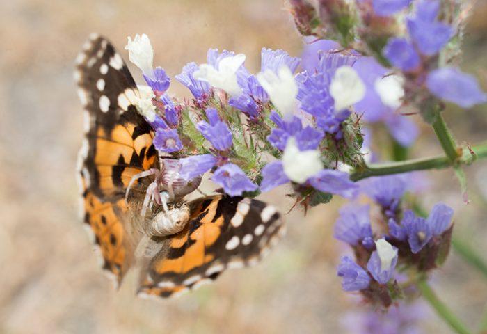 Distelvlinder zit vast in de kaken van een goed gecamoufleerde bloemkrabspin. Zie jij het nu ook?