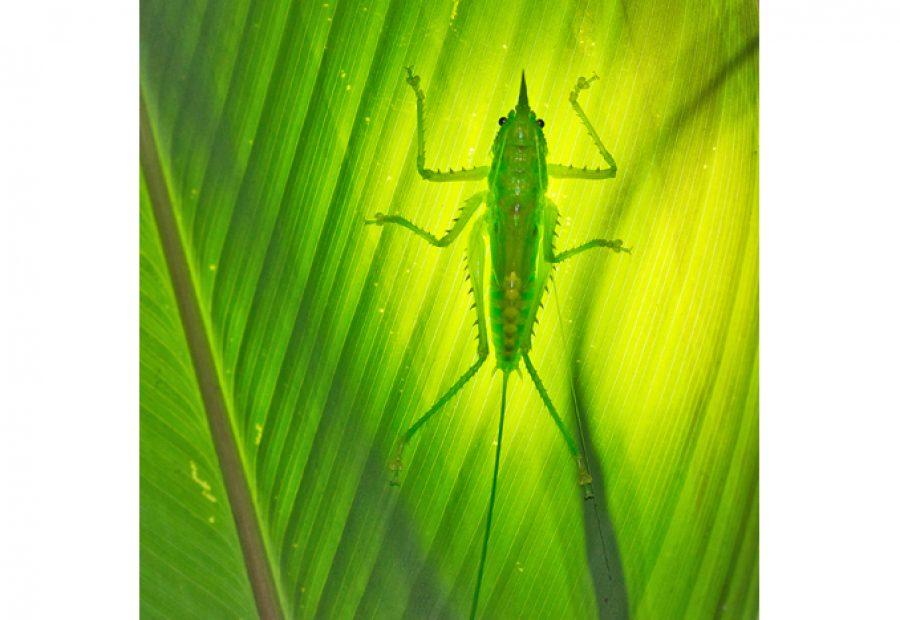 Recentelijk ontdekt: de sprinkhaan Copiphora hastata (Conehead-Katydid).