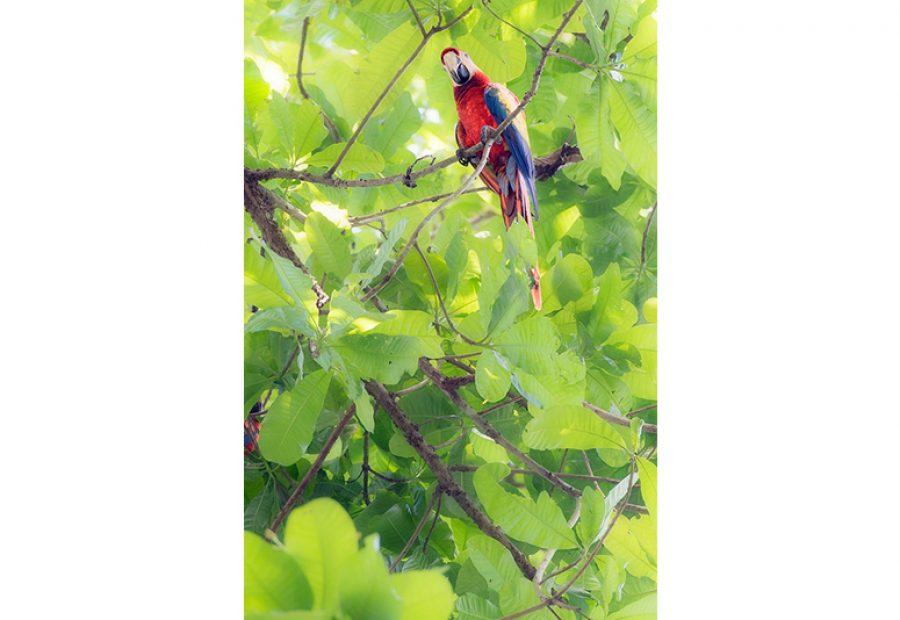 Hoe fotografeer je vogels, zoals deze rode ara, van veraf?