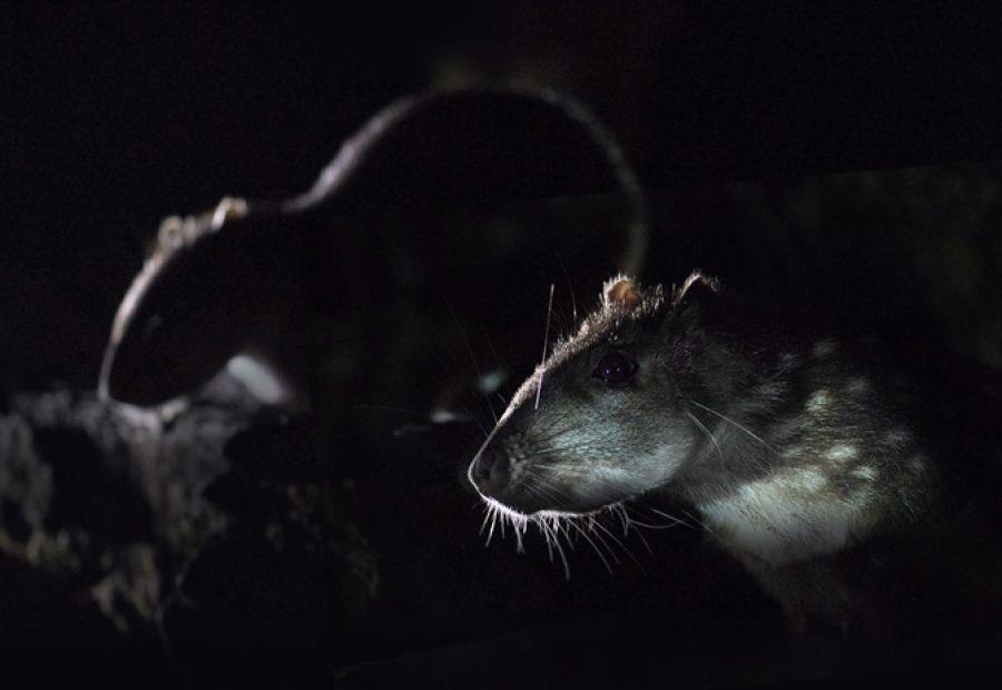 We bezoeken de enige waarneemplek van de Paca, een reusachtig knaagdier.