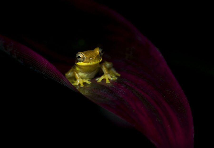 Yellow-treefrog op het purperen blad van de Tiplant.