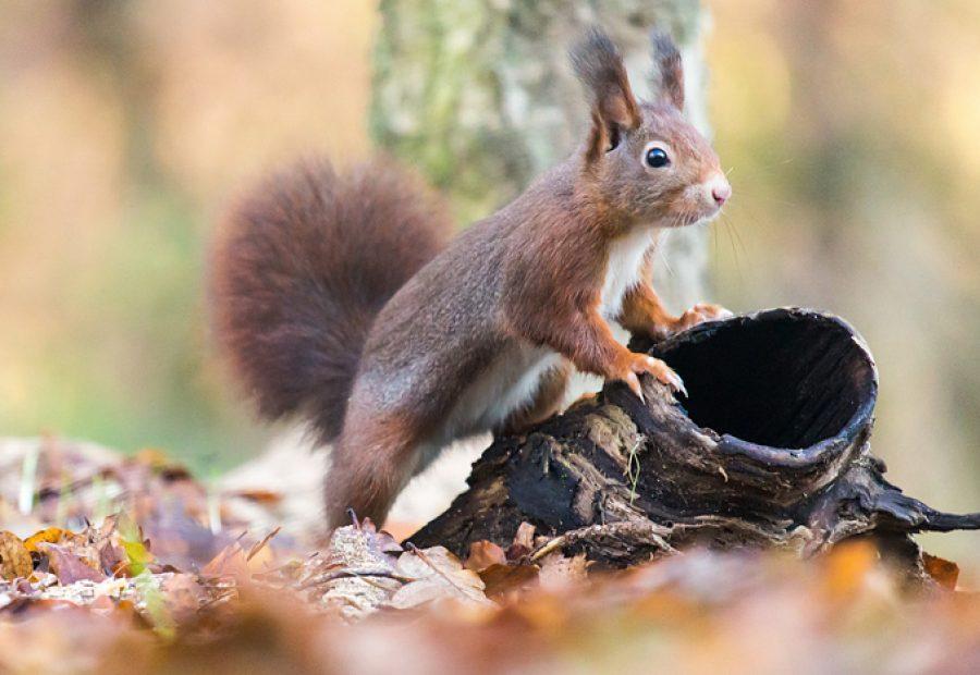 eekhoorn ©Bert Roelofs