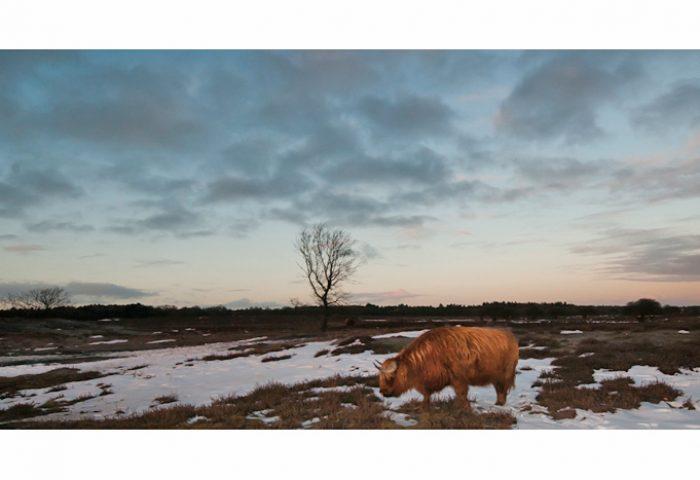 Schotse hooglander (NA bewerking): Voorgrond drastisch bijgesneden, zodat het dier beter onder de aandacht komt en de breedte van het beeld de eenzaamheid, weidsheid benadrukt. Verder is de belichting bijgesteld