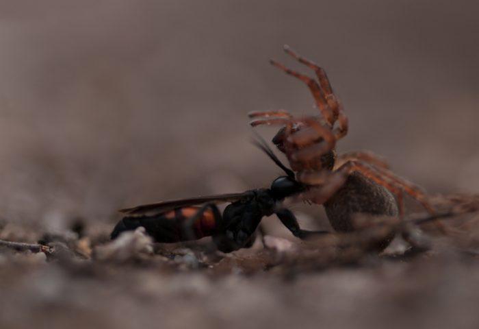 Spinnendoder met prooi (ruw beeld)
