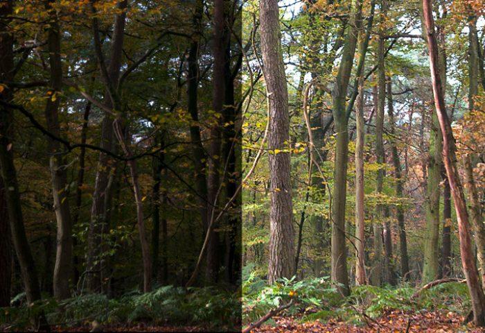 Herfstig bos. Op de linkerhelft het ruwe beeld. De rechterhelft is nabewerkt. De contrasten en details zijn levendiger en het licht is prettiger om naar te kijken.