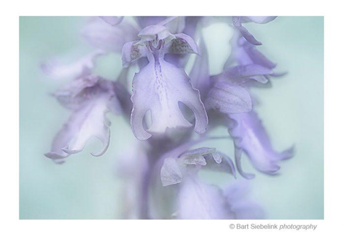 Sfeerbeeld van de reuzenorchis Himantoglossum robertianum.