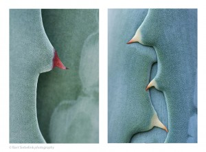 Tweeluik-Agavarotics2-©BartSiebelink