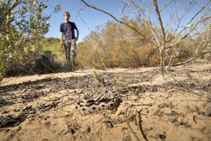Een gelukstreffer! De wipneusadder. Deze ondersoort met zijn fraai geblokte tekening komt alleen voor in de uitgestrekte duinvalleien van de Doñana. 12mm, 1/400s, f4.4, ISO 200. Foto: Arjan van der Lugt