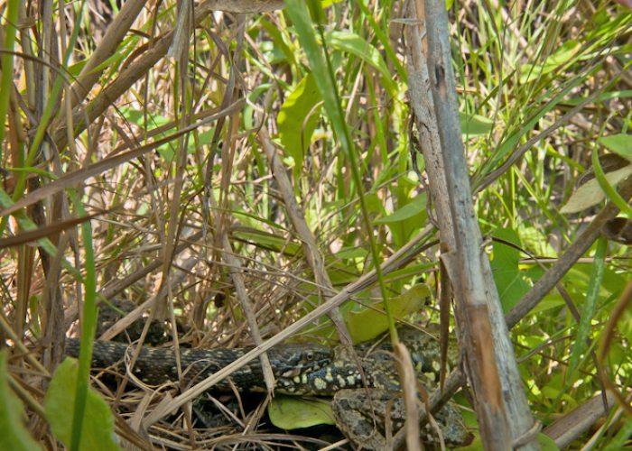 Adderringslang verzwelgt kikker. Dit onderwerp, diep verborgen tussen het gras, viel te fotograferen dankzij de extreme scherptediepte-techniek. 18 mm, 1/20s, f22, ISO 200, hoekzoeker.