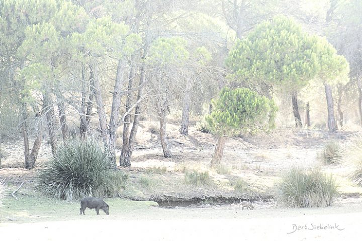Wild zwijn in de zandige duinen. 400mm, 1/250s, f6.3, ISO 400. Foto: Bart Siebelink. ((1))