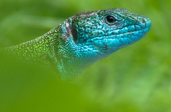 Karakterportret van mannetje smaragdhagedis met blauwe keel. Dankzij telelens kun je op afstand blijven en voelt het dier zich op zijn gemak