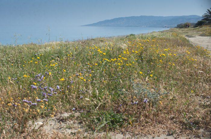 Bochtig lamsoor en gele ganzenbloemen begroeien de kustlijn en fungeren als tankstation voor distelvlinders op hun doortrek naar Europa.