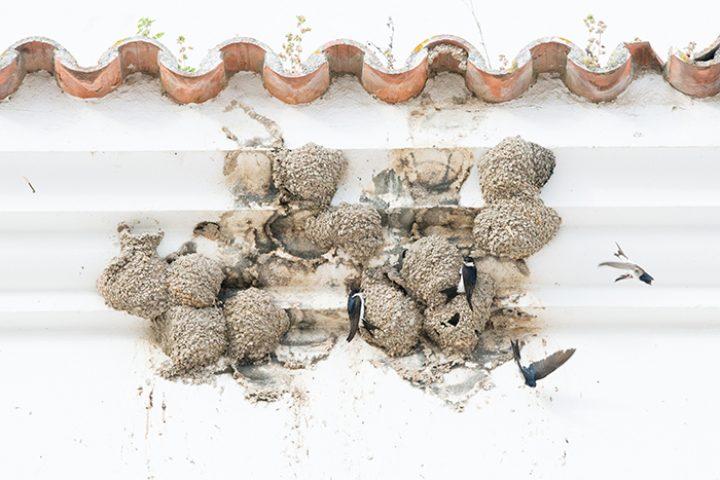 Kolonie huiszwaluwen van dichtbij