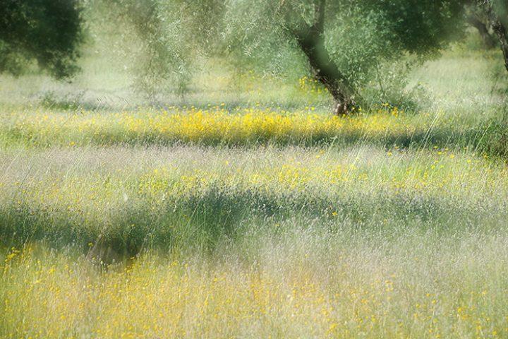 Dromerig sfeerbeeld van een olijfboomgaard. Hoe maak je zo'n foto nou?