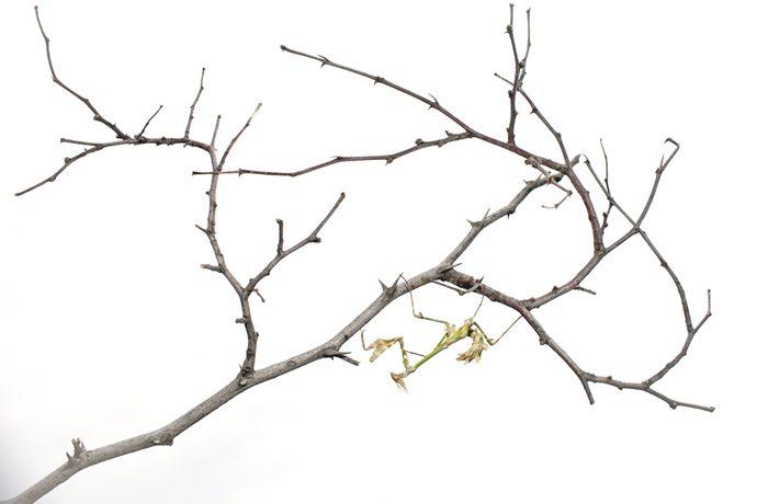 Silhouetopname van de bidsprinkhan Ampusa fasciata op tak van Christusdoorn.