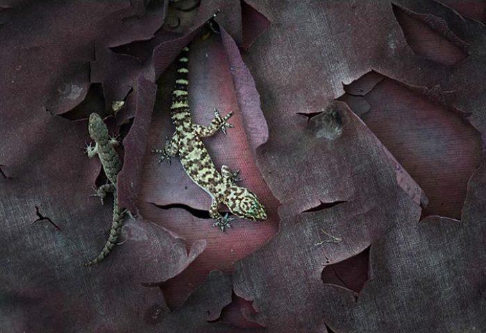 Twee soorten gekko's scharrelden onder deze halfvergane autozitting.