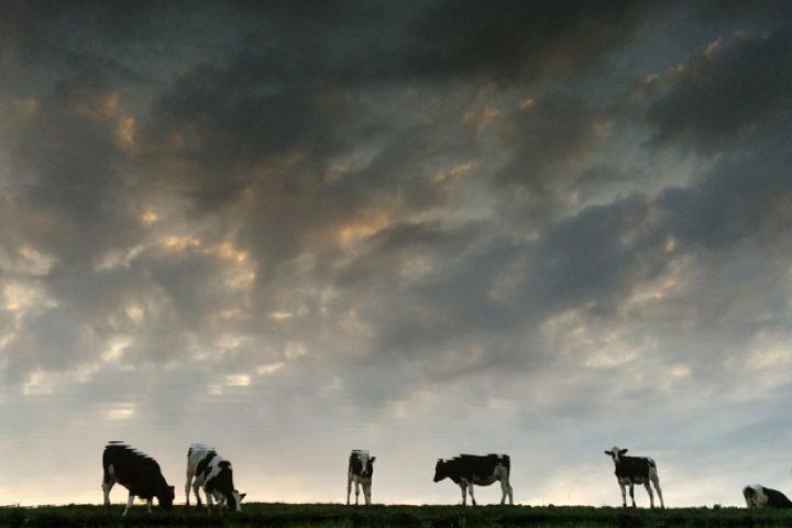 Koeien aan overkant sloot. Door alleen de spiegeling te fotograferen en daarna het beeld ondersteboven te kantelen, tekenen ze veel sterker af tegen de bewolkte avondlucht. Holland waterland.