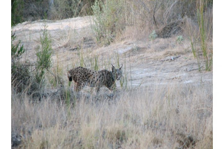 Iberische lynx, eén van 's werelds mest bedreigde katachtigen.