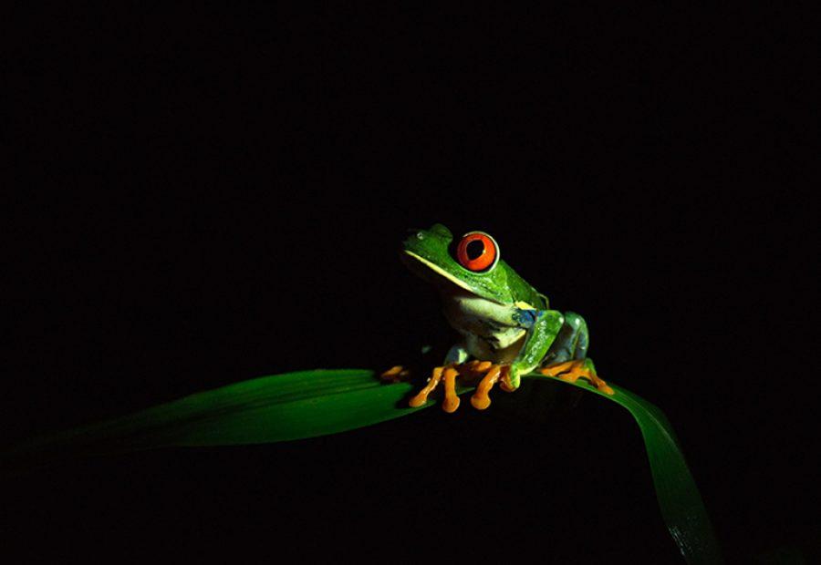 's Werelds meest fotogenieke amfibie: de roodoogmaki-kikker.