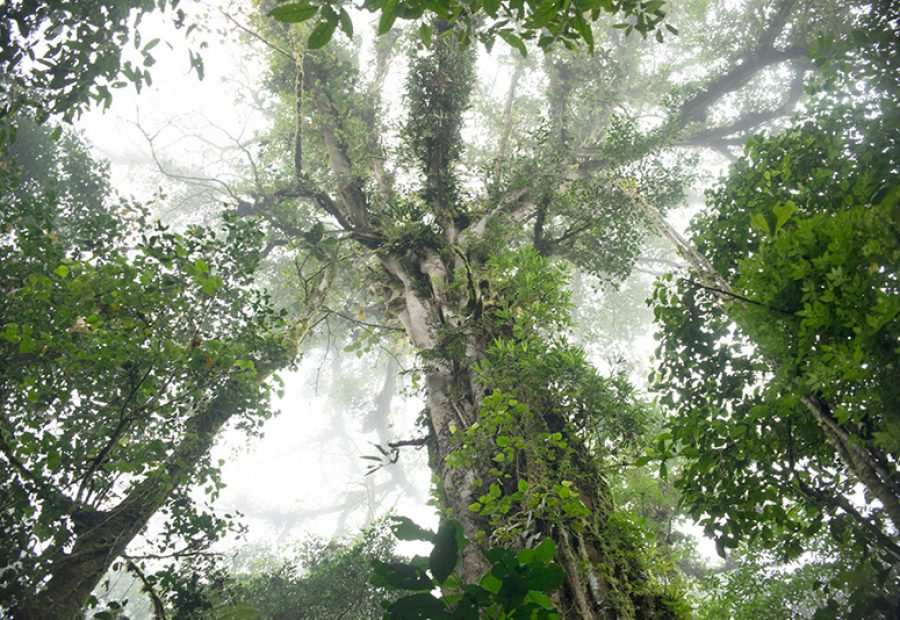 De reuzen van het nevelwoud, let op de rijkdom aan epifyten.