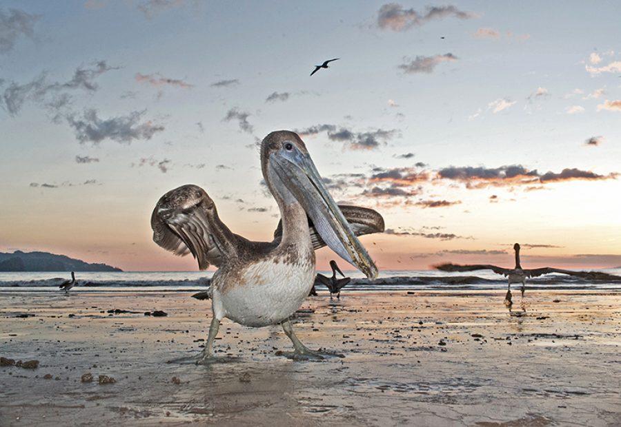 De bruine pelikaan; altijd een dankbbaar fotomodel dat zich goed laat benaderen.