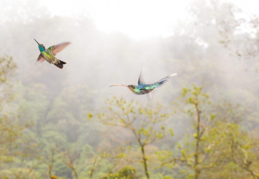 Kolibries in hun naturlijke omgeving: het nevelwoud (Magnifiscent hummingbird en Green hermit). Foto: Edo van Uchelen.