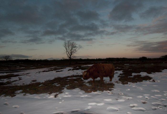 Schotse hooglander (ruw beeld): weinig sprekende foto, maar bevat sterke aanzetten in de doortekende lucht en nabij de horizon