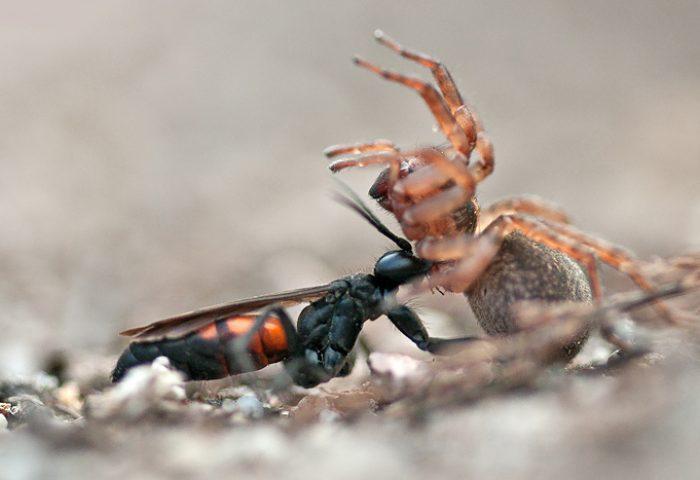 Dezelfde foto van spinnendoder met prooi (NA bewerking)
