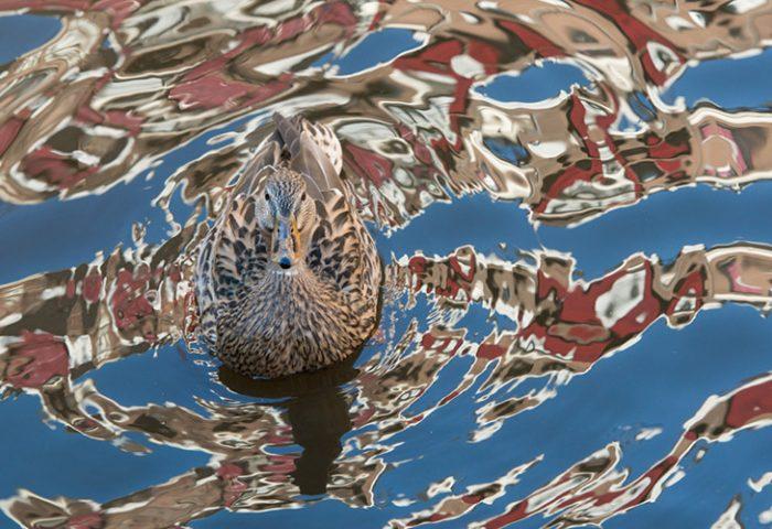 750_LR_Water-vogels@BartSiebelink-4